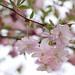 sakura by Sabinche
