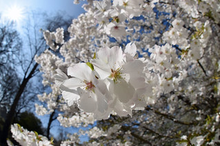 Cherry blossom time RHS Wisley