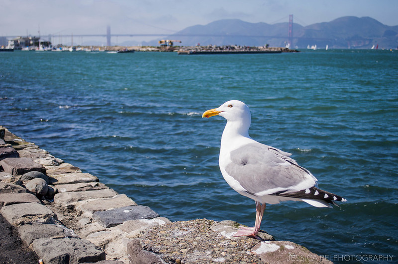 Seagull San Francisco Golden Gate Bridge