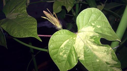 Japanese Morning Glory - Ipomoea nil - Asagao variety name Ki Huiri Murasaki Botanzaki