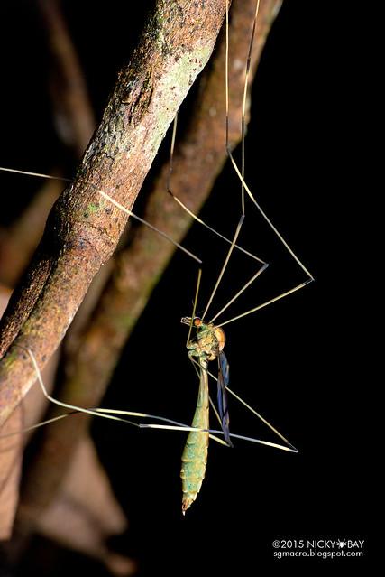 Crane fly (Tipulidae) - DSC_5106
