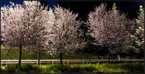 Susini in fiore di notte