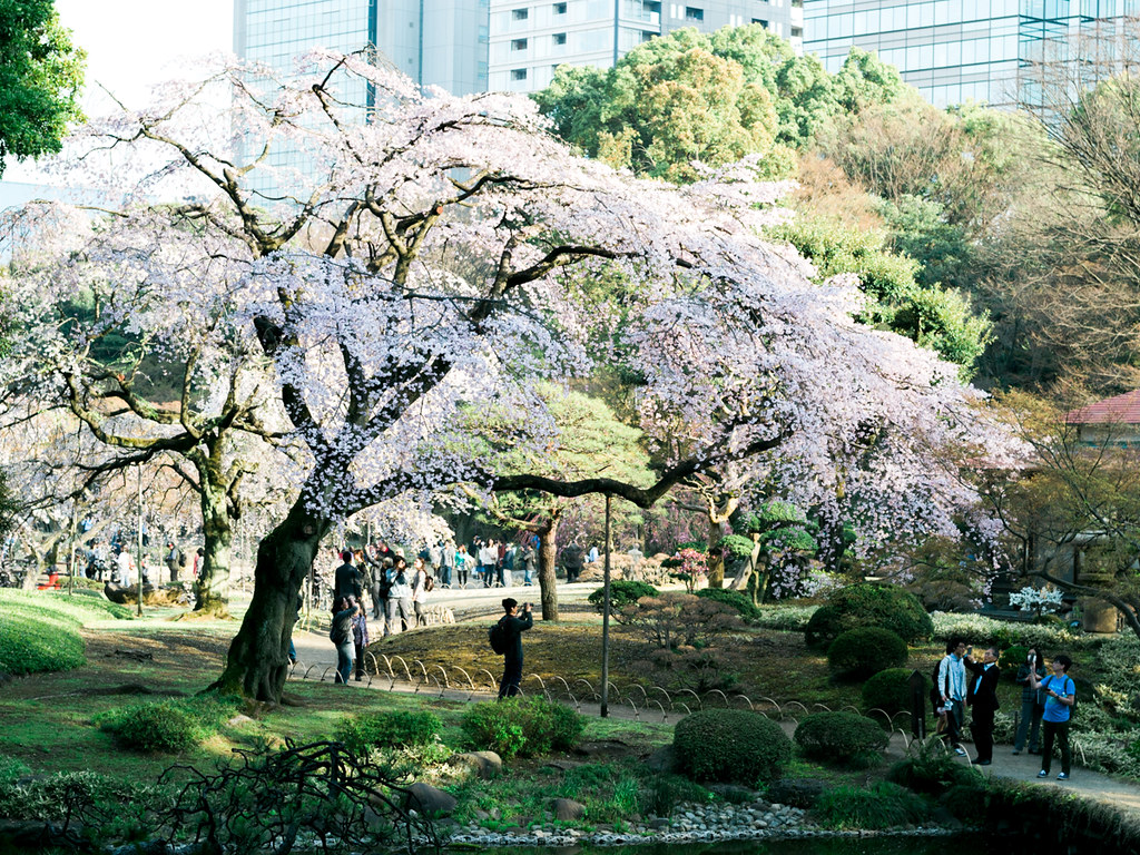 Cherry Blossoms in Koishikawa Korakuen