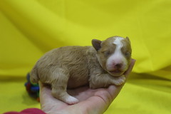 1 Chocolate Cream 1wk Old 9oz 017