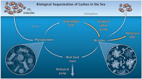 海洋中的生物固碳(碳封存)圖片來源:http://theresilientearth.com/?q=content/ocean-co2-storage-revised