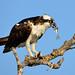 Osprey by jt893x