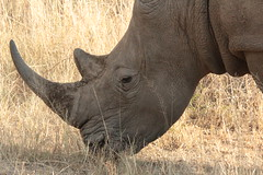 animal, horn, rhinoceros, fauna, savanna, safari, wildlife,