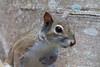 Squirrel close-up