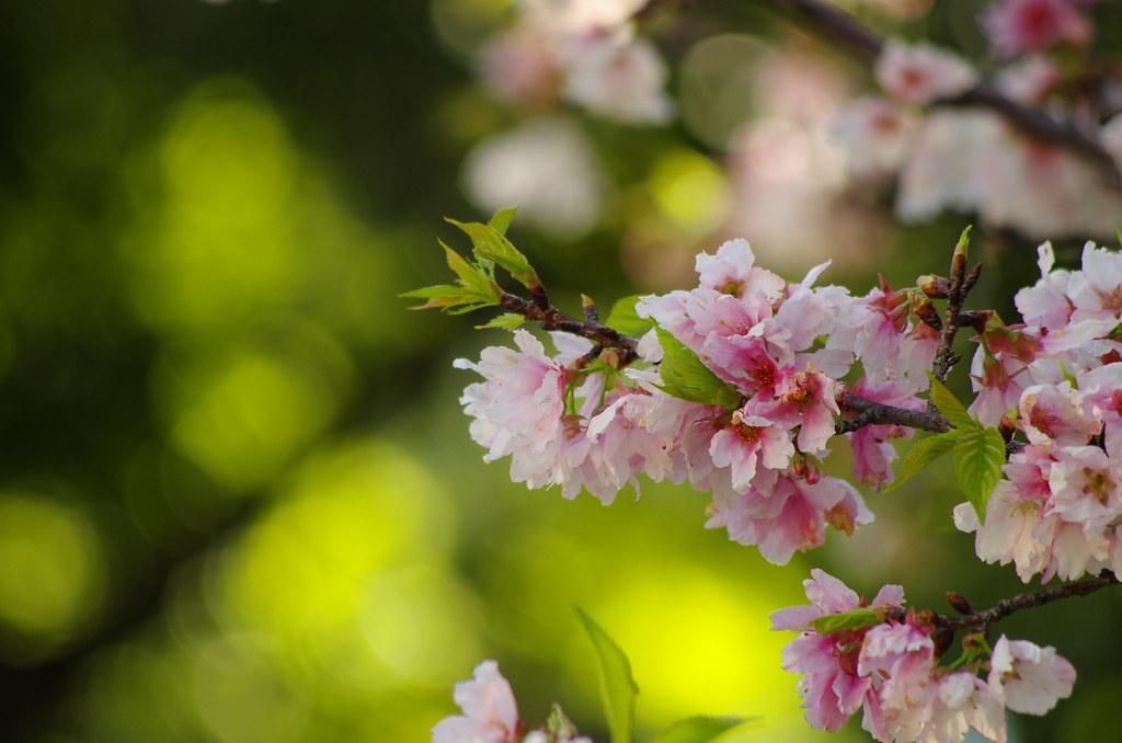 新竹科管局的櫻花