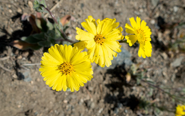 Happy daisies, m657
