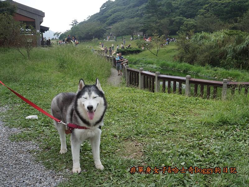哈士奇Doggy2013陽明山二子坪22