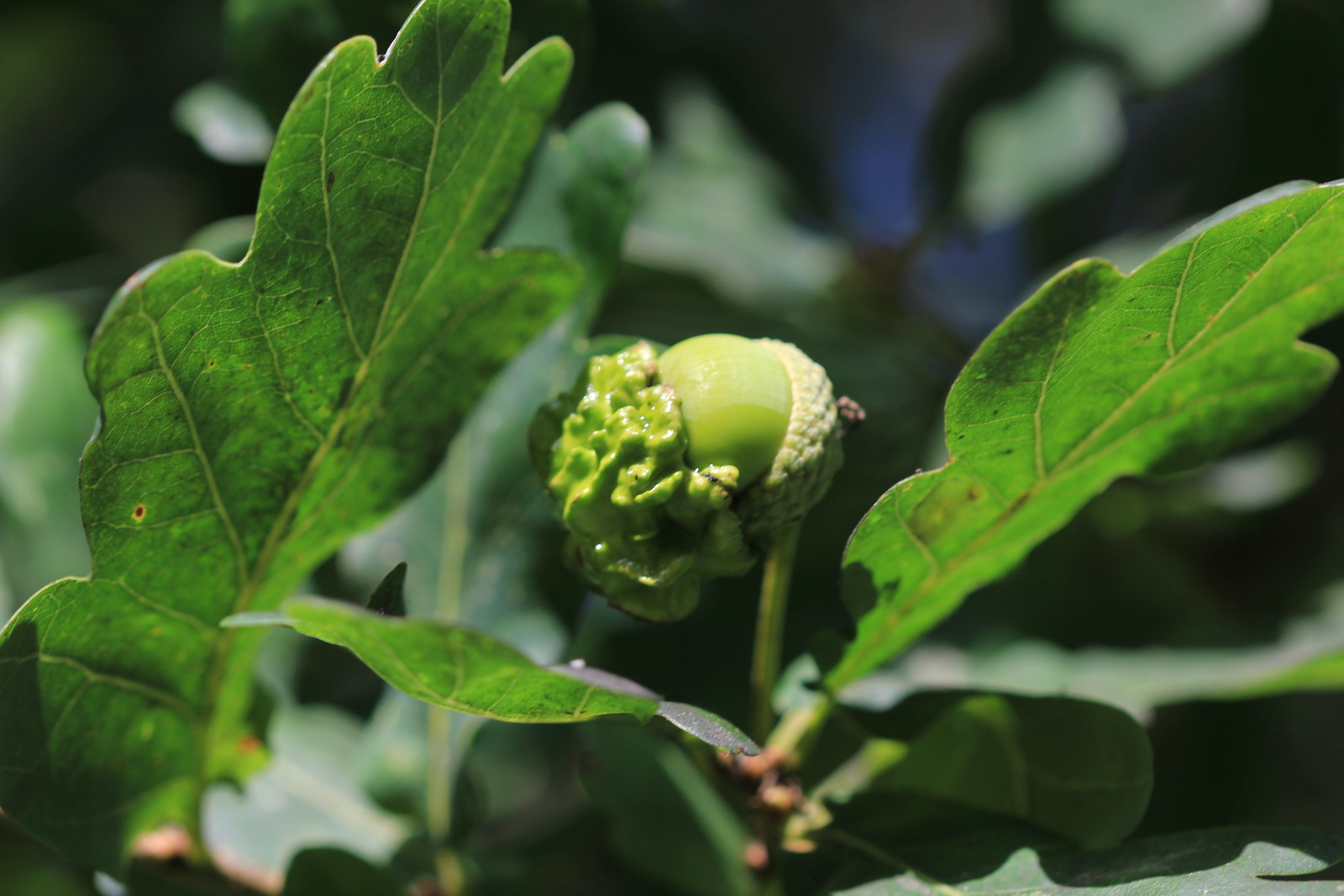 Knopper Gall - Ashdown Forest