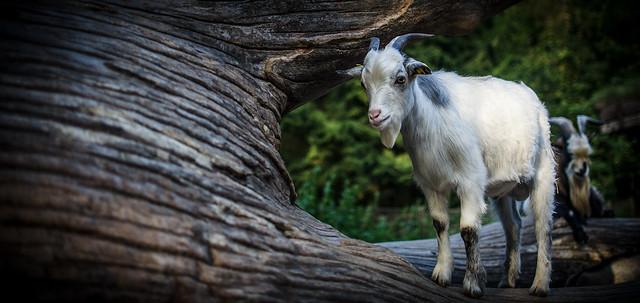 Porträt einer Ziege