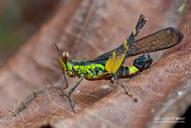 Monkey grasshopper (Erucius sp.) - DSC_5697