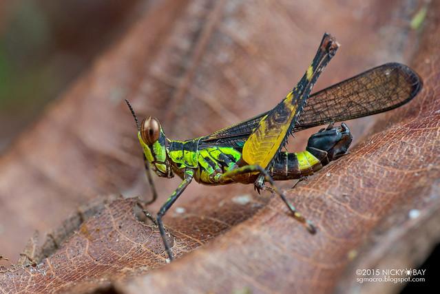 Monkey grasshopper (Erucius sp.) - DSC_5697