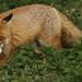 Fox in the stingers. by Sandra Standbridge.