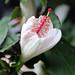 Koki'o Kea, Hibiscus Waimeae by Ebroh