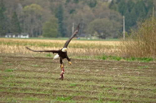 Bald Eagle Taking Flight With His Rabbit Dinner