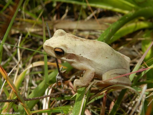 Ranita Trepadora (Hypsiboas pulchellus)