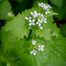 Garlic Mustard - Photo (c) 57Andrew, some rights reserved (CC BY-NC-ND)