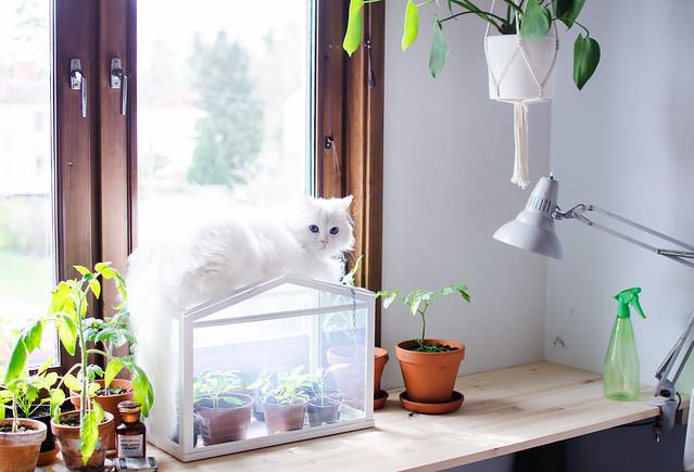 kattengösta