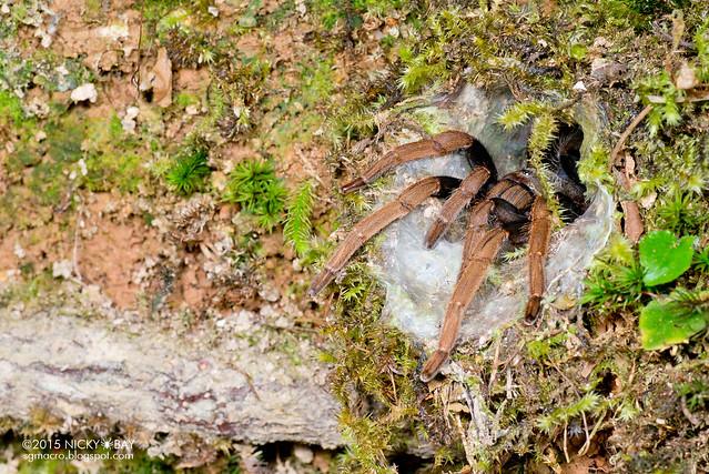 Malaysian purple femur tarantula (Coremiocnemis hoggi) - DSC_5613