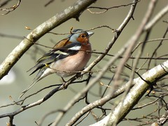 Pinson des arbres - Chaffinch
