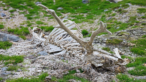 South Georgia Reindeer skeleton