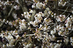 shrub(0.0), plant(0.0), produce(0.0), fruit(0.0), food(0.0), prunus spinosa(0.0), blossom(1.0), flower(1.0), branch(1.0), tree(1.0), flora(1.0), cherry blossom(1.0), spring(1.0),