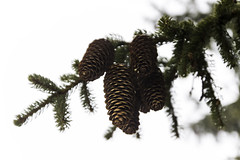 branch, pine, tree, conifer cone, fir, spruce,