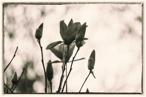 blackandwhite monochrome beautiful landscape spring northcarolina gastonia dorameulman spring2015 altspringmono