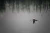 spotbill-Duck