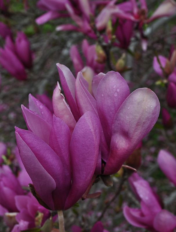 Magnolia x 'Betty' (1)