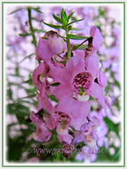 Angelonia angustifolia 'Angelface Pink' (Summer Snapdragon) - Dec 16 2014