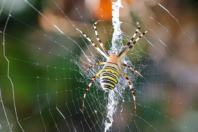 Spider___Ragno