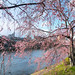 Kyoto Cherry Blossoms 2015