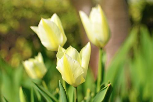 Tulip : チューリップ
