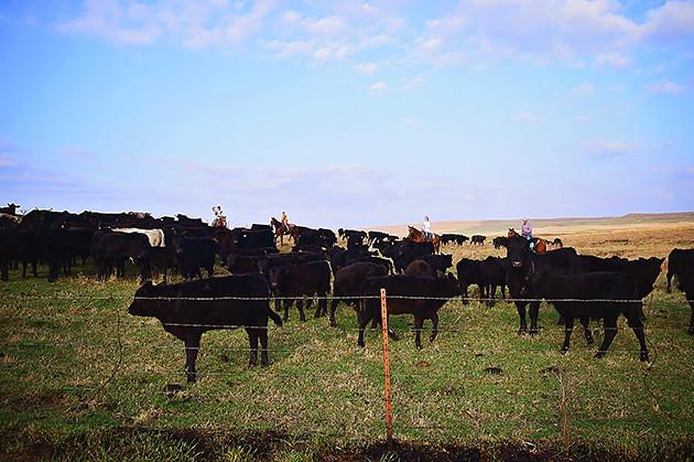 Gathering Bulls