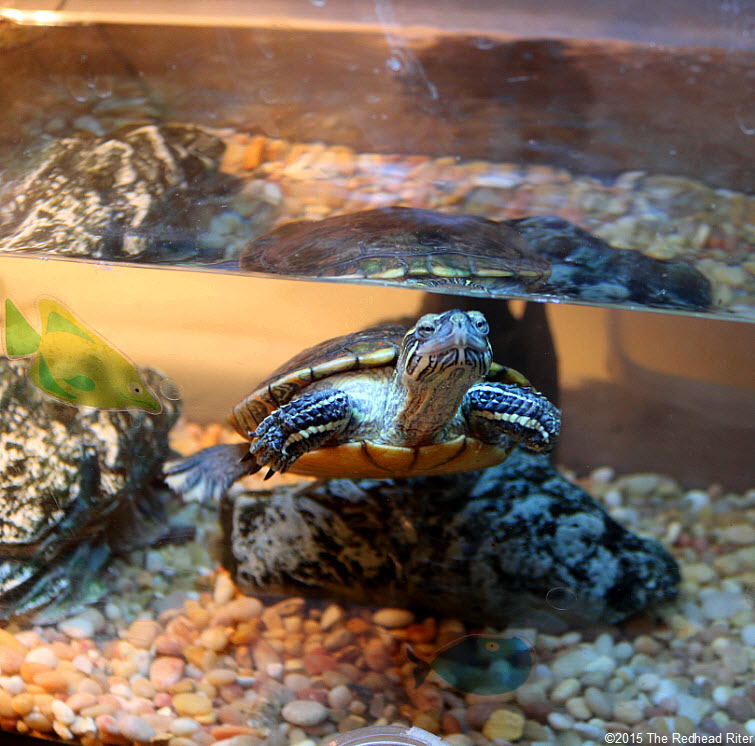 painted turtle large tank - Chuckle of the Day