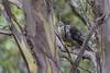 Yellow Wattlebird Anthochacra paradosa 2015-03-27 (_MG_2382)