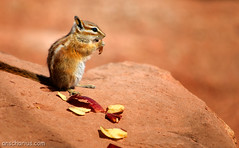 The hungry chipmunk
