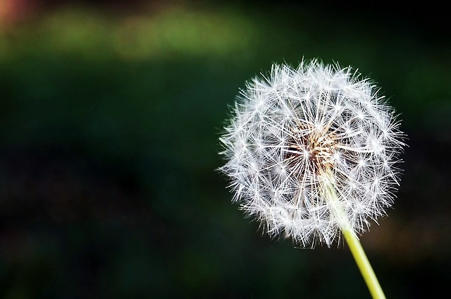 dandelion-167112_640