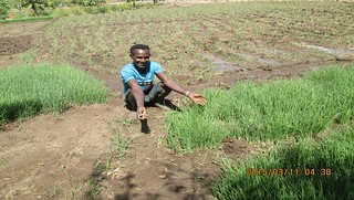 Farmer retailing onion seedlings after planting for his own_Kalu (Photo:ILRI\ Mesfin Tefera)