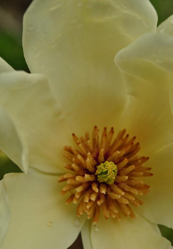 Magnolia acuminata 'Elizabeth' (3)