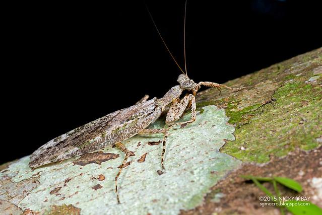 Bark mantis (Mantodea) - DSC_5479
