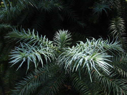China Fir-Glauca
