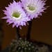 Easter Lily Cactus Night Bloom