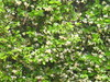 Star jasmine begins to bloom on the chain link fence by moccasinlanding