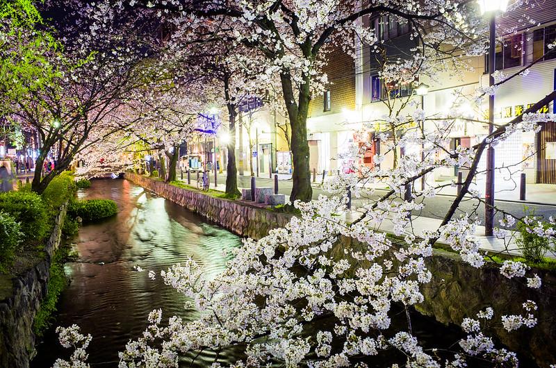 sakura '15 - cherry blossoms #7 (Kiyamachi street, Kyoto)