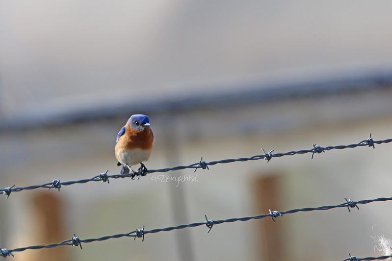 IMG_1554EasternBluebird